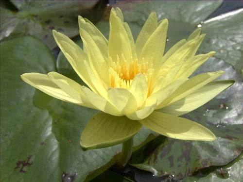 Yellow Water Lily  - Nymphaea Eldorado - 5 Seeds
