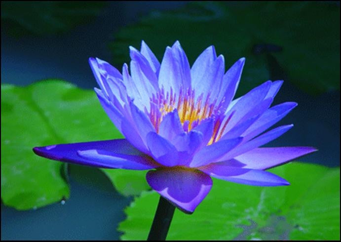 Blue Water Lily Aquatic - Nymphaea Caerulea - 5 Seeds