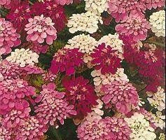 Candytuft Dwarf Mix Annual - Iberis Umbellata - 100 Seeds
