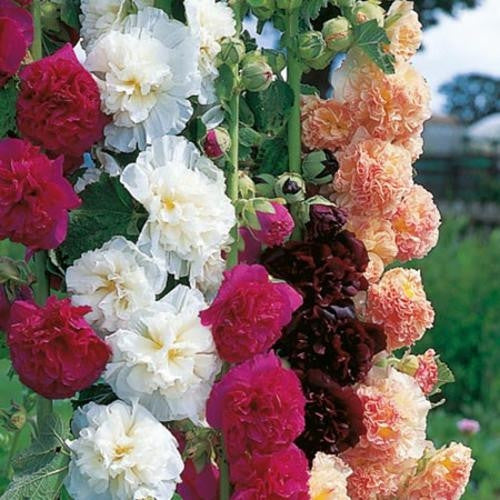 Hollyhock Chaters Double Perennial - Alcea Rosea - 10 Seeds