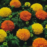 Marigold Crackerjack Annual - Tagetes Erecta - 150 Seeds