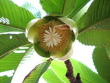 Elephant Apple Exotic Tree - Dillenia Indica - 10 Seeds