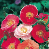 Poppy Shirley Doubles Annual - Papaver Rhoeas - 1000 Seeds