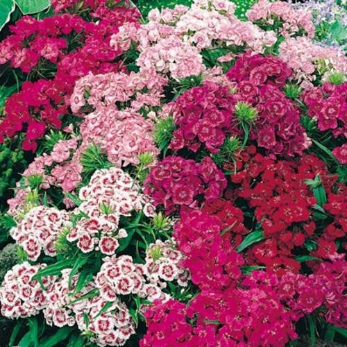 Sweet William Double Dwarfs Biennial - Dianthus Barbatus - 200 Seeds
