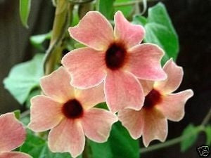 Thunbergia Mixed Colours Perennial - Thunbergia - 10 Seeds