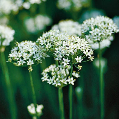 Garlic Chives Culinary - Allium Schoenoprasum - 25 Seeds