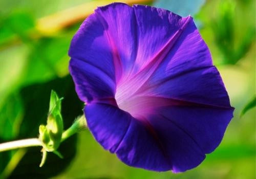 Grandpa Ott Morning Glory Climbing Vine - Ipomoea Tricolor - 5 Seeds
