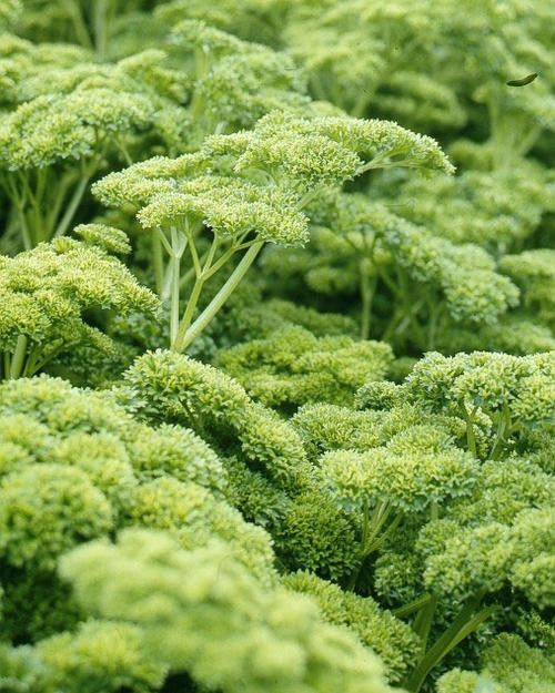 Curly Parsley Culinary - Petroselinum Crispum - 100 Seeds