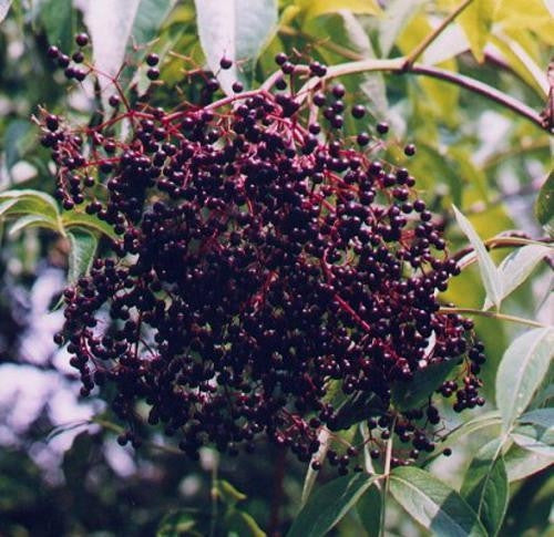 American Elderberry Exotic Fruit Tree - Sambucus Canadensis - 10 Seeds