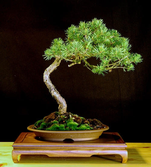 Scotch Pine Exotic Bonsai Tree - Pinus Sylvestris - 5 Seeds