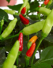 Tabasco Chilli Pepper - Capsicum Frutescens - 10 Seeds