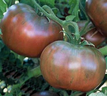 Cherokee Purple Tomato - Lycopersicon Esculentum - 10 Seeds
