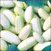 White Wonder Cucumber - Cucumis Sativus - 20 Seeds