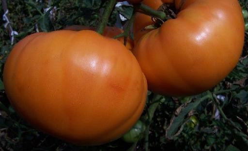 Amana Orange Tomato - Lycopersicon Esculentum - 5 Seeds