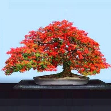 Delonix Regia - Royal Poinciana - Flamboyant Tree - Exotic Tree - 10 Seeds