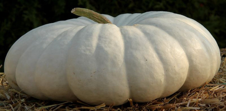 Flat White Boer Pumpkin  - Cucurbita Maxima - Vegetable - 10 Seeds