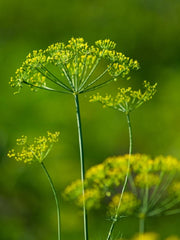 Dill Culinary - Anethum Graveolens - Herb - 100 Seeds