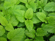 Lemon Balm Culinary - Melissa Officinalis - Herb - 50 Seeds