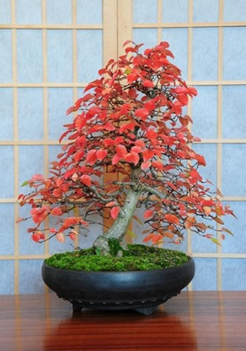 Korean Hornbeam - Bonsai - Carpinus Turczaninowii - 5 Seeds