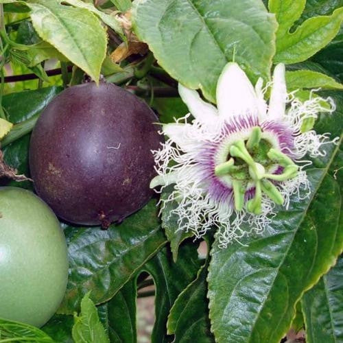Purple Passion Fruit - Fruit - Passiflora Edulis - 5 Seeds