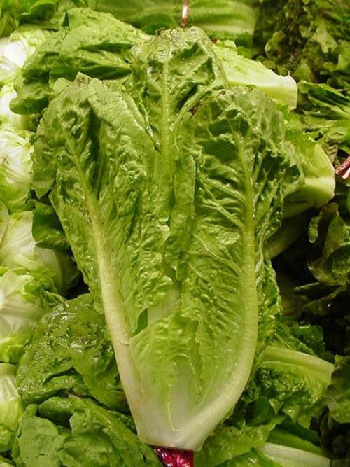 Parris Island Romaine Cos Lettuce - Heirloom Vegetable - Lactuca Sativa - 500 Seeds