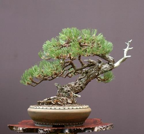 Ponderosa Pine - Bonsai Tree - Pinus Ponderosa - 5 Seeds
