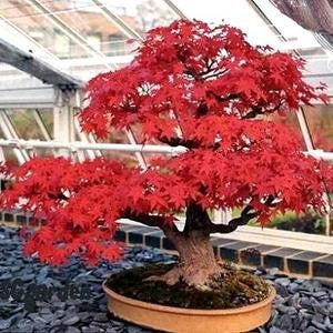 Amur Maple - Flame Maple - Bonsai Tree - Acer Ginnala Flame - 5 Seeds