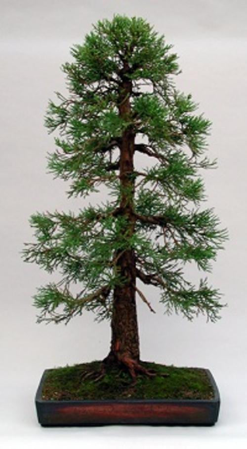 Giant Sequoia - Bonsai Tree - Sequoiadendron giganteum - 10 Seeds