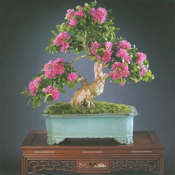 Crape Myrtle  Tree - Bonsai Tree - Lagerstroemia - 10 Seeds