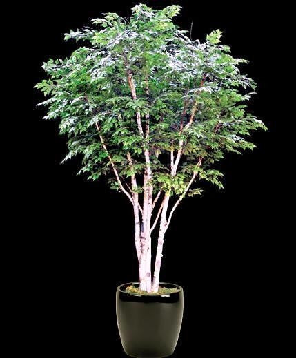 Canoe / Paper Birch - Bonsai Tree - Betula Papyfera - 20 Seeds