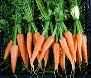 Karoo Chantenay Carrot - Daucus Carrota - Vegetable - 100 Seeds