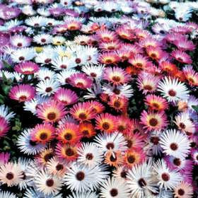 Mesembryanthemum Mixed Species - Vygies - Indigenous South African Succulent - 400 Seeds