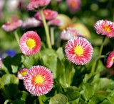 Bellis Perennis Montrosa - English Daisies - Annual - 100 Seeds