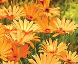 Barberton Daisy - Gerbera Jamesonii - Indigenous South African Perennial - 5 Seeds