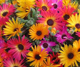 Mixed Colour African Daisy - Dimorphotheca Mixed Colours - Indigenous South African Annual - 100 Seeds