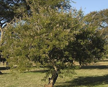 Acacia Davyi - Cork Thorn Tree - Indigenous South African Tree - 10 Seeds