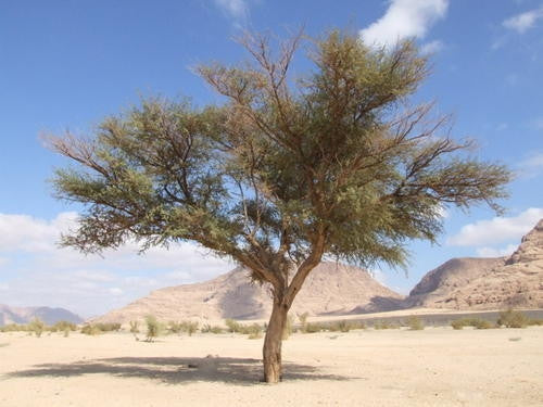 Acacia Gerrardii - Red Thorn Tree - Indigenous South African Tree - 10 Seeds