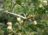 Acacia Grandicornuta - Horned Thorn Tree - Indigenous South African Tree - 10 Seeds