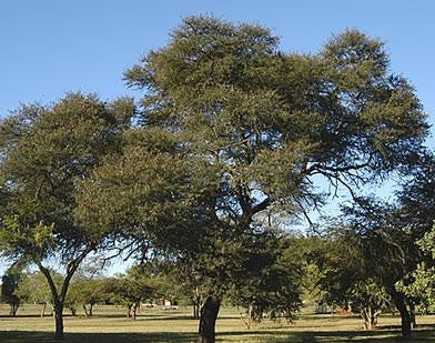 Acacia Karoo - Sweet Thorn Tree - Indigenous South African Tree - 10 Seeds