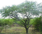Acacia Nilotica - Egyptian Thorn Tree - Indigenous South African Tree - 10 Seeds