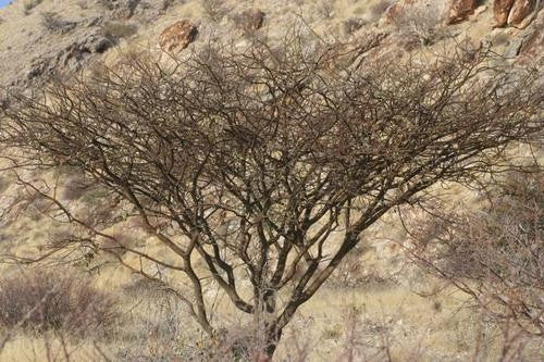 Acacia Reficiens - Red Bark Acacia - Indigenous South African Tree - 10 Seeds