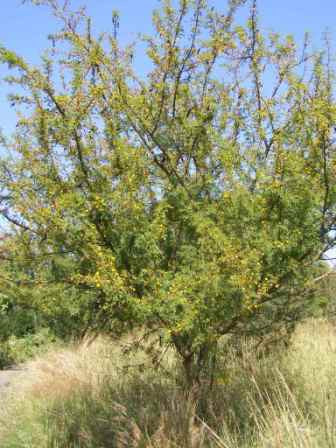 Acacia Swazica - Swaziland Thorn Tree - Indigenous South African Tree - 10 Seeds