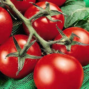 Moneymaker Tomato - Lycopersicon Esculentum - Vegetable - 50 Seeds