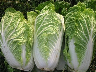 Chichilli Chinese Cabbage - Brassica Pekinensis - Vegetable - 50 Seeds
