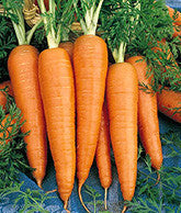 Kuroda Carrot - Daucus Carrota - Vegetable - 100 Seeds