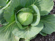 Giant Drumhead Cabbage - Brassica Oleracea - Vegetable - 25 Seeds