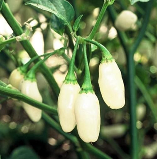 Peruvian White Lightning Habanero - Capsicum Chinense - Chilli Pepper - 10 Seeds