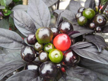 Black Pearl - Capsicum Annuum - Chilli Pepper - 5 Seeds