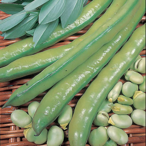 Aquadulce Broad Beans - Vicia faba - Vegetable - 5 Seeds
