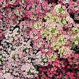 Alyssum Mixed Colours - Lobularia maritima - Annual - 50 Seeds